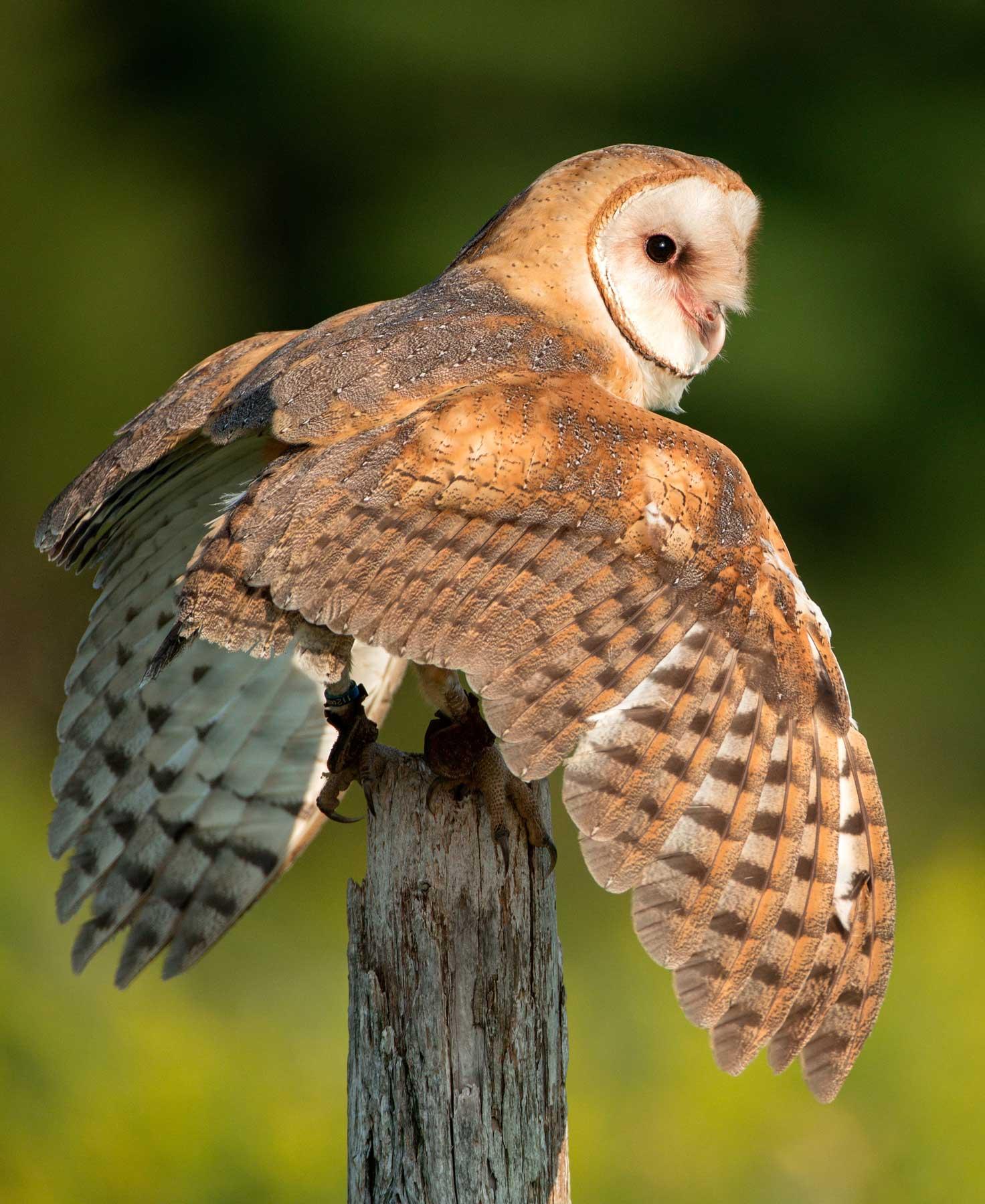 Barn_Owl,_Canada